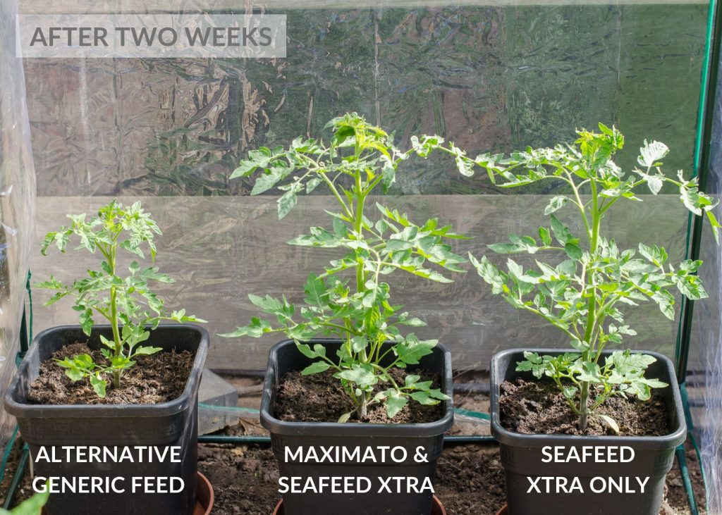 envii maximato organic tomato feed trial after two weeks