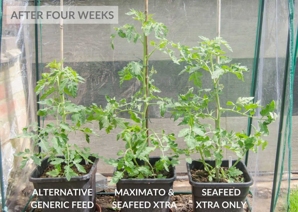 envii maximato organic tomato feed trial after four weeks
