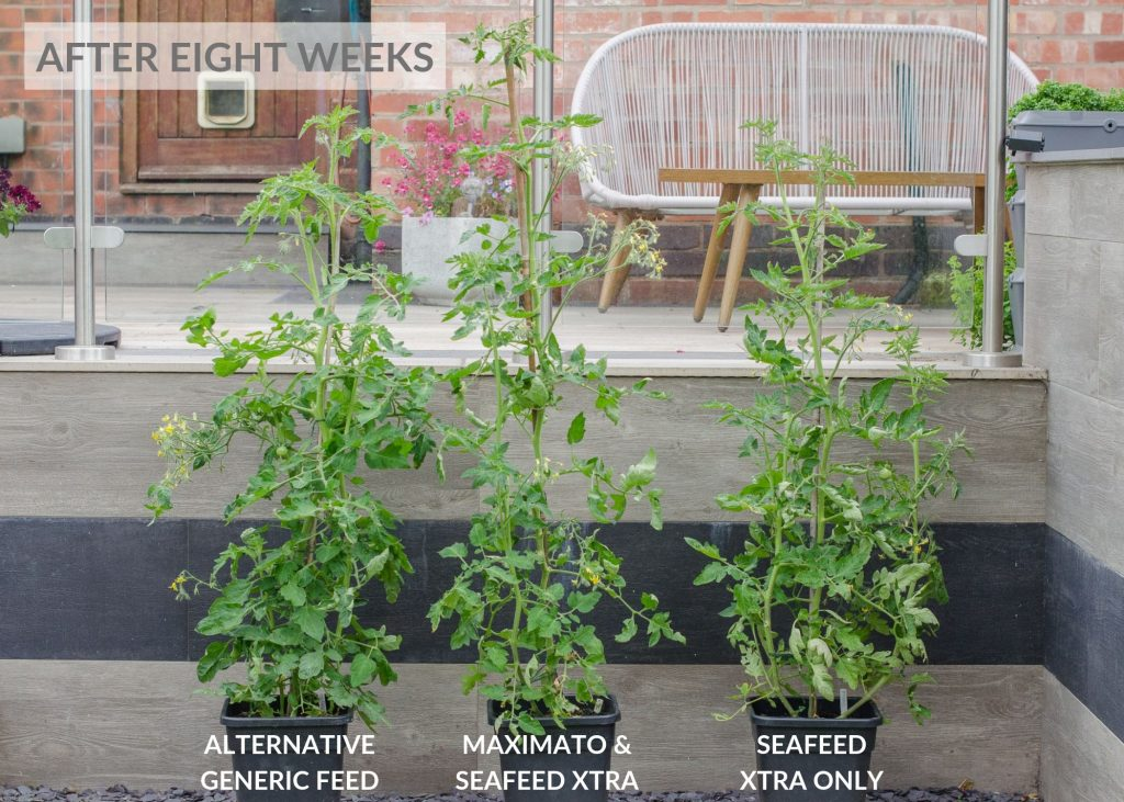 envii maximato organic tomato feed trial after eight weeks