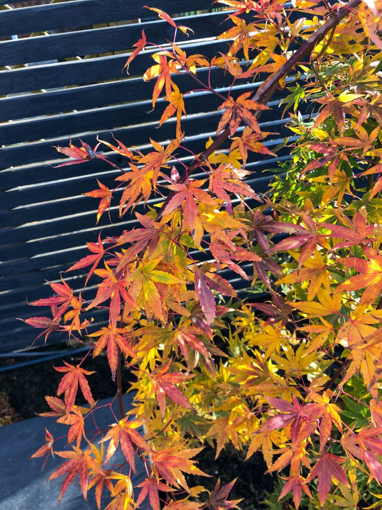 acer japanese maple with red and gold leaves