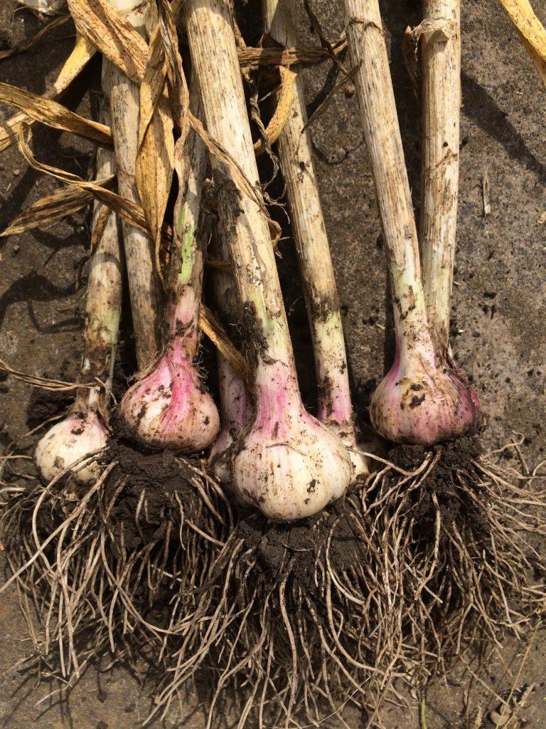 harvested garlic bohemian rose variety