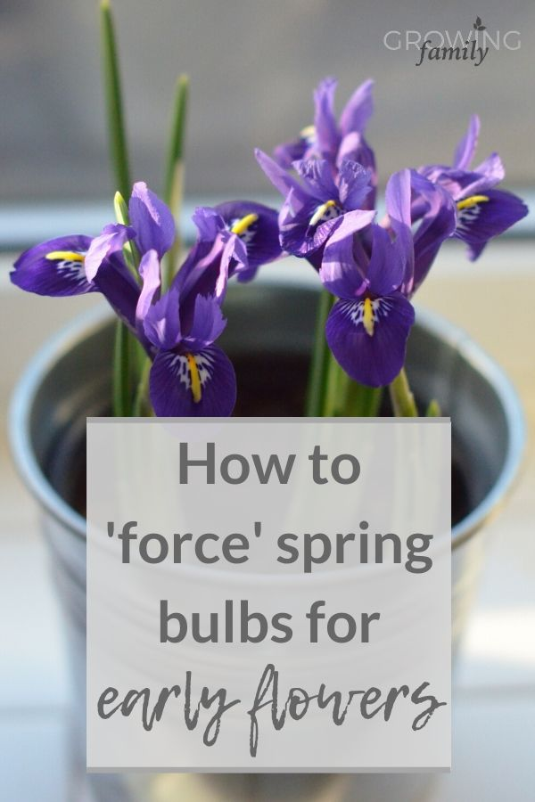 Forcing bulbs indoors in pots is a lovely way to bring flowers into your home in the depths of winter.  This easy step-by-step guide explains how to do it.
