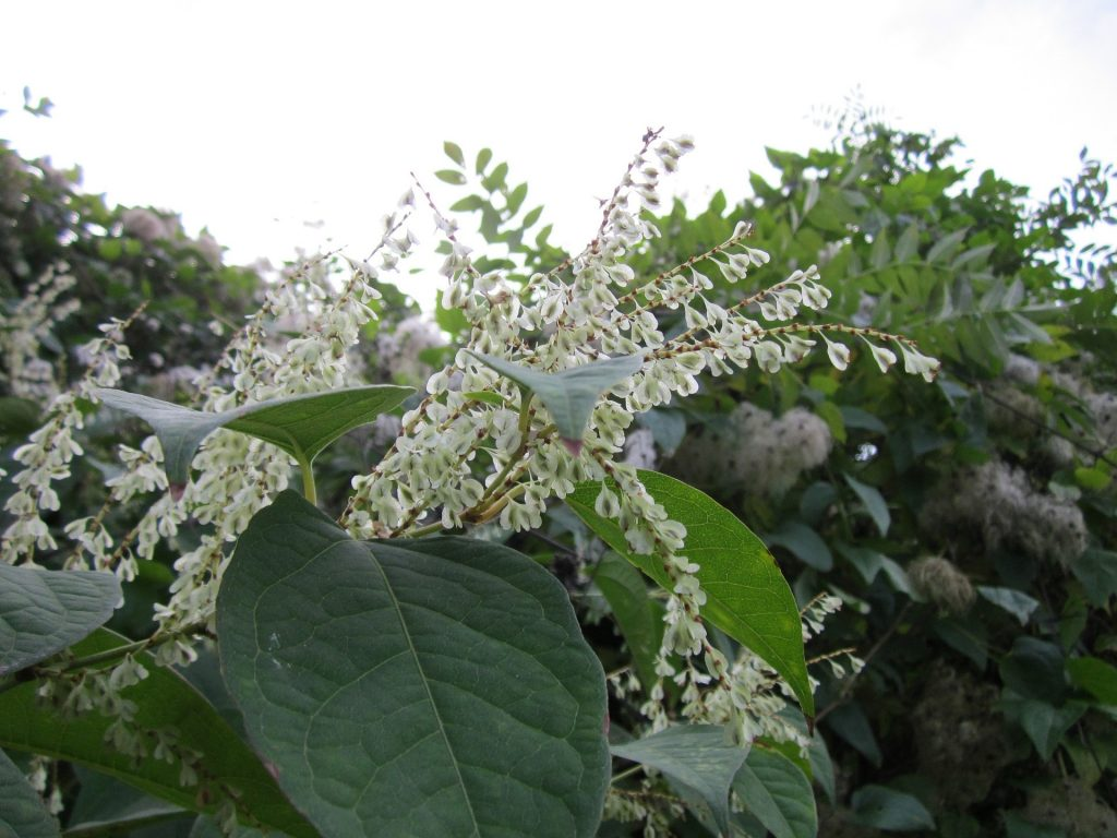japanese knotweed fallopia japonica plant