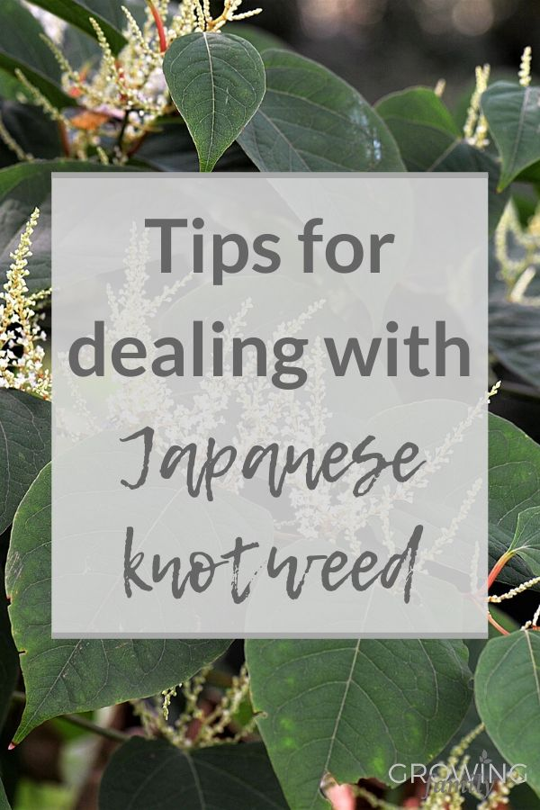 Worried about the impact of Japanese Knotweed on your property? This article explains how to identify and deal with Japanese knotweed and your legal rights.