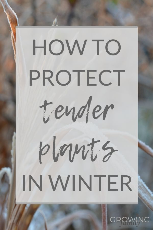 Not all garden plants can survive winter outdoors! These handy winter plant protection tips will help you protect your tender plants in cold weather.