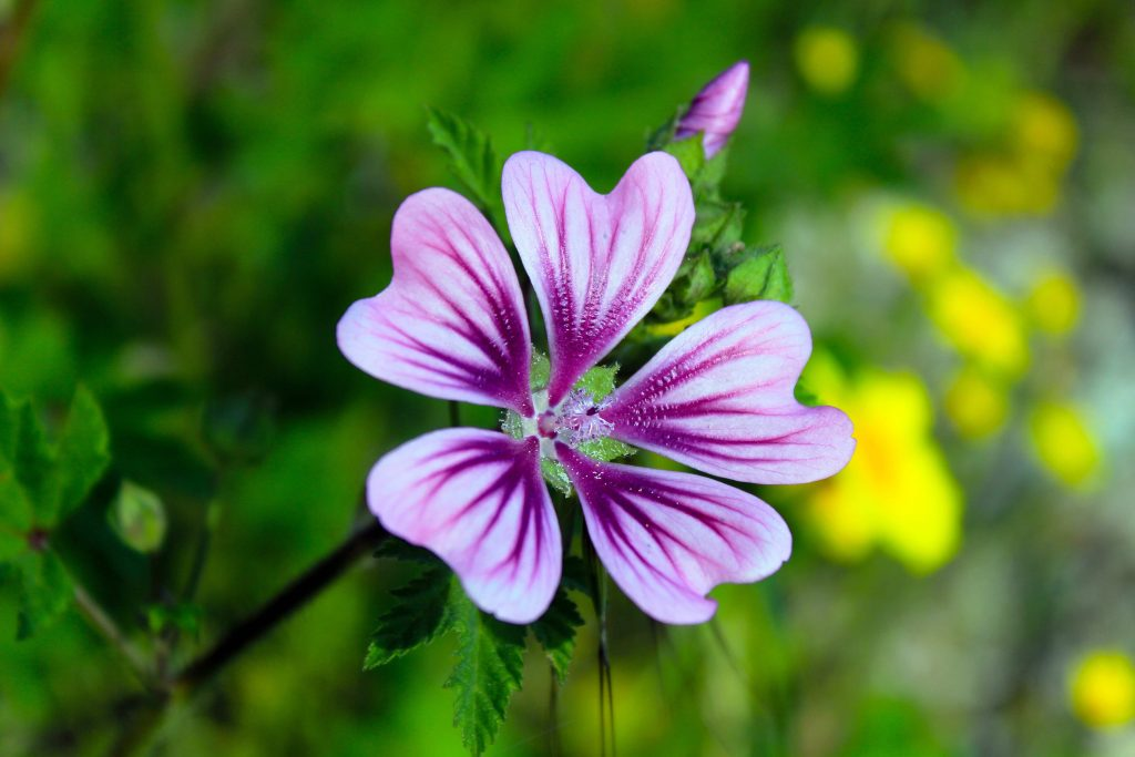 ideal plants for outdoor pots - hardy geraniums