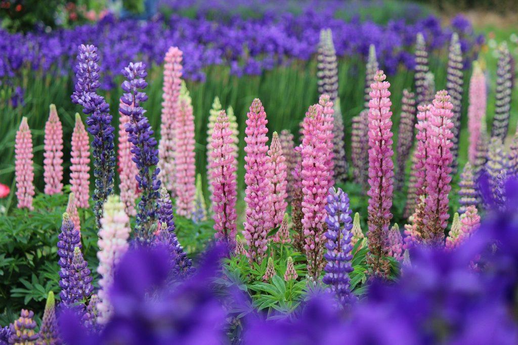 gardening in july - planting spring flowering perennials