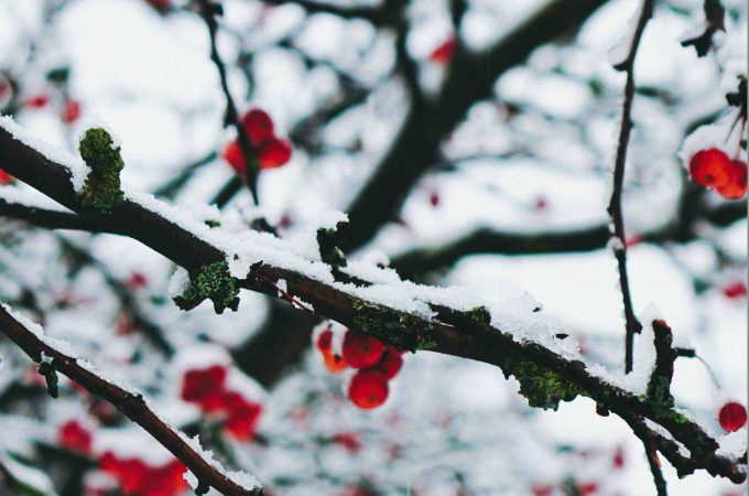 tree branches with snow and berries