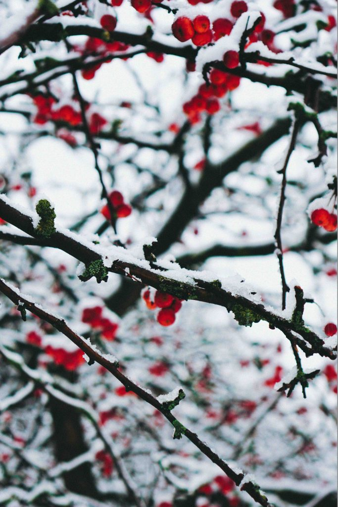 tree branches with snow and berries in garden in winter