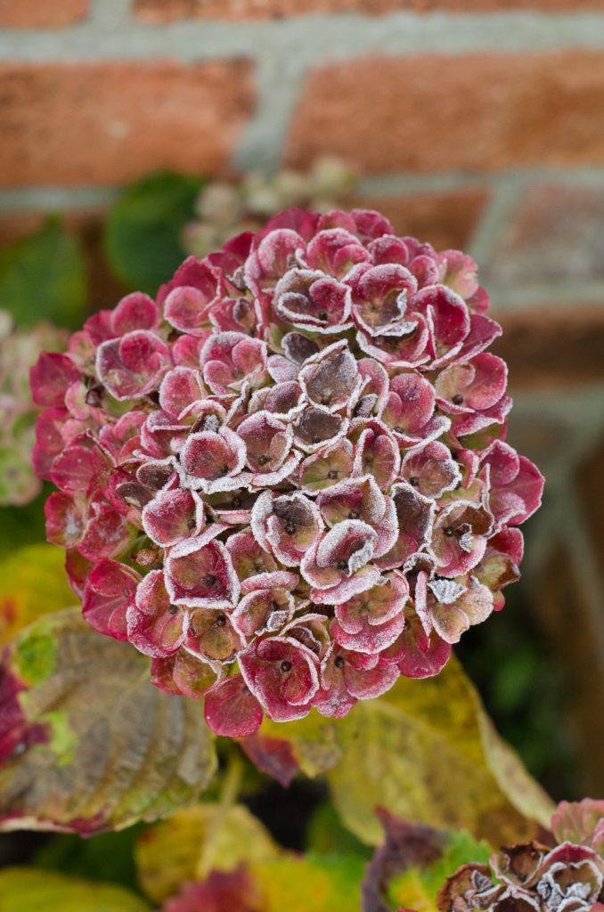 hydrangea flower head in the garden in winter