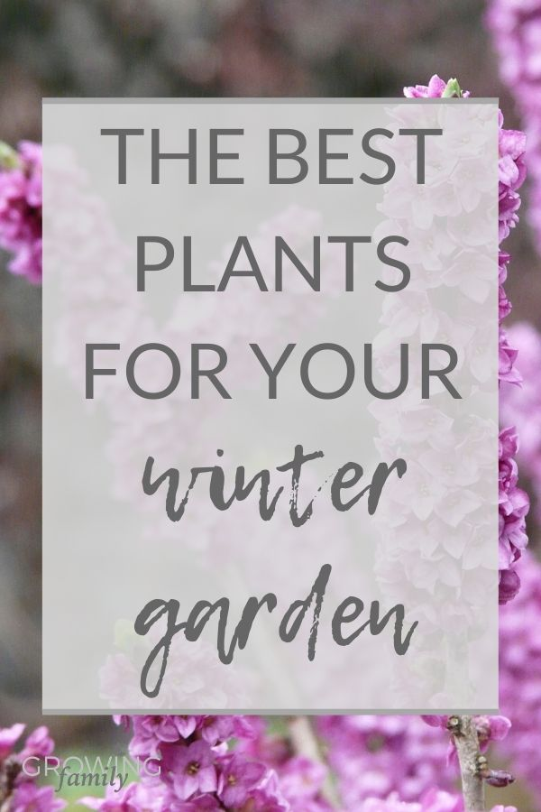 Tired of looking at a drab winter garden? Check out this guide to the best winter plants for adding interest and colour to your garden!