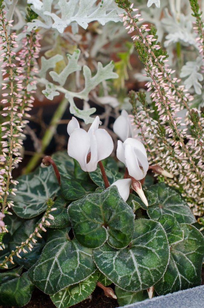 cyclamen and heather plants
