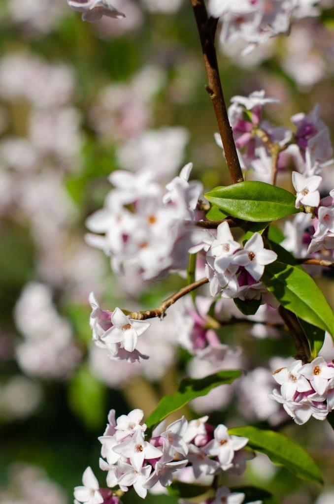 daphne odora blossom