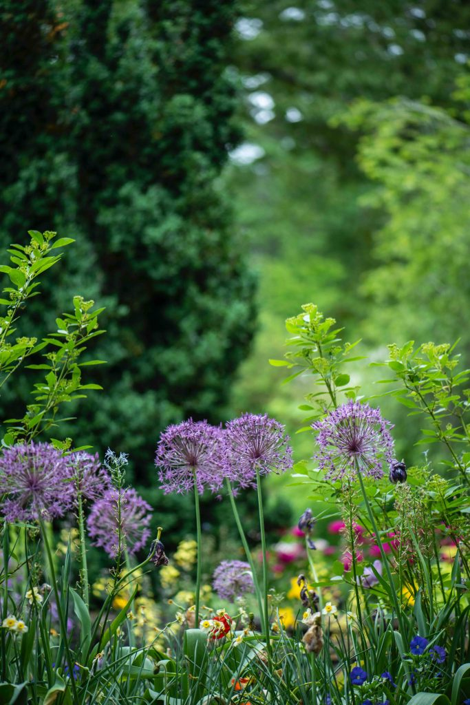 garden with alliums