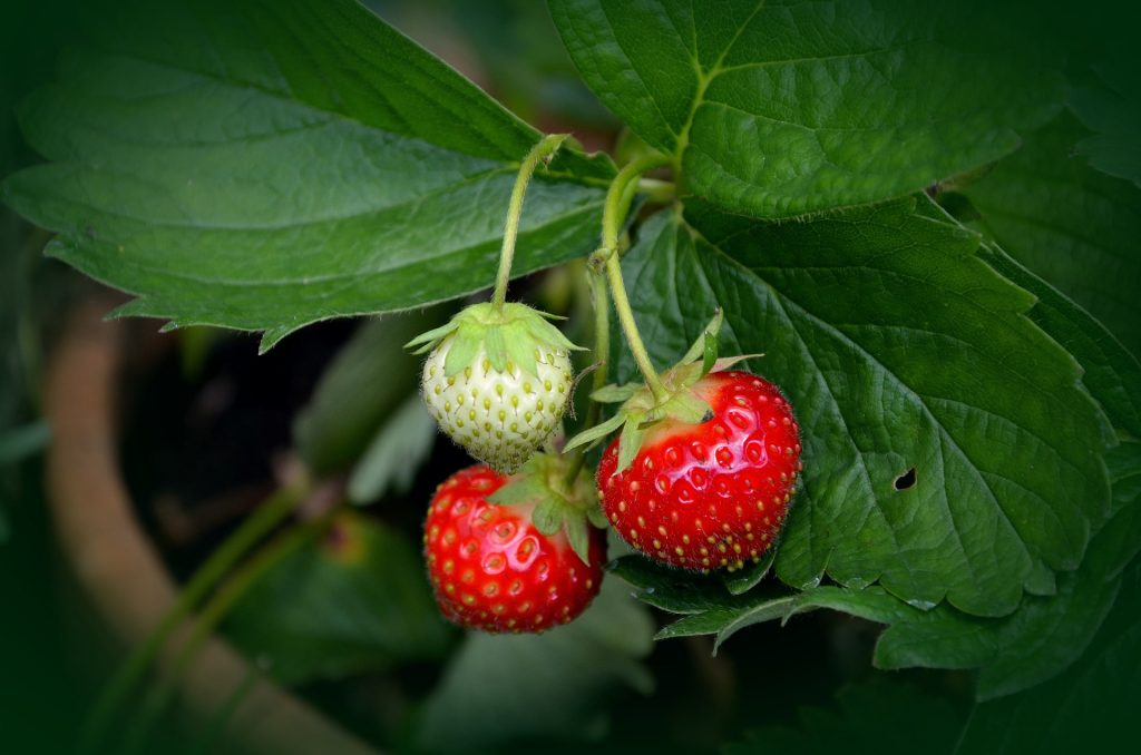 what to plant in august - strawberry plant