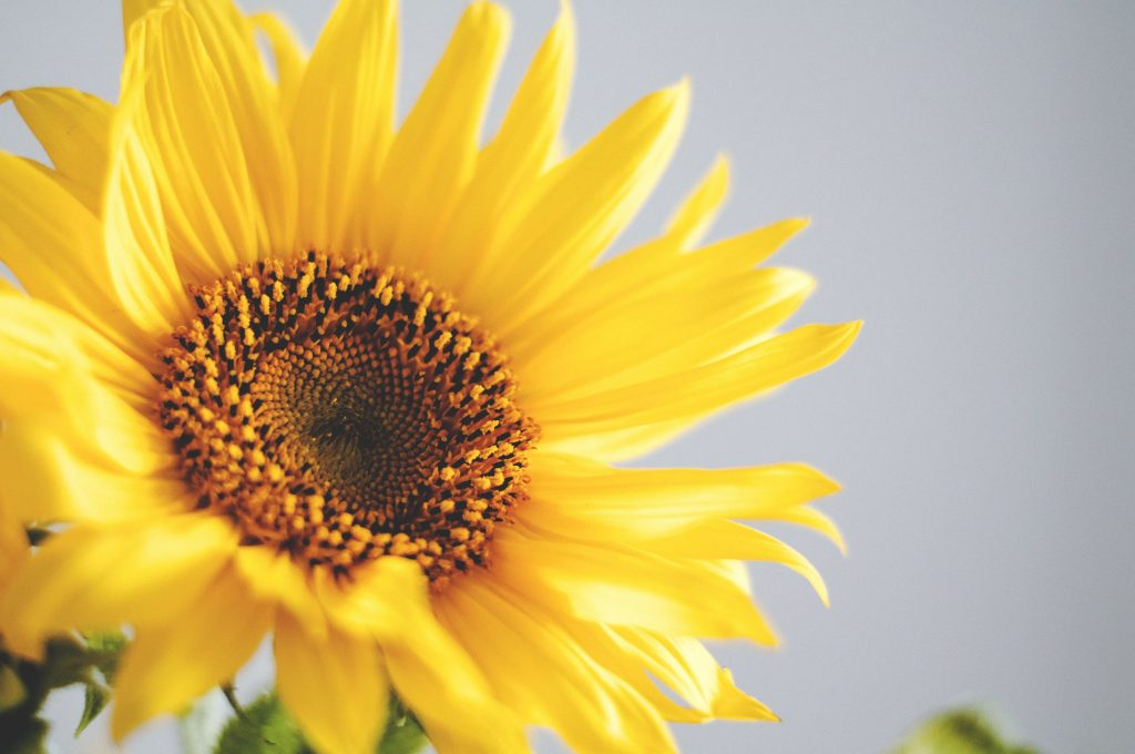 easy flowers to grow from seed: sunflowers
