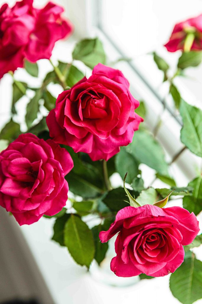 birth month flowers for june - roses