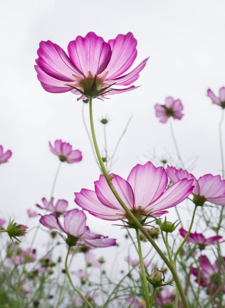 birth month flowers for october - cosmos