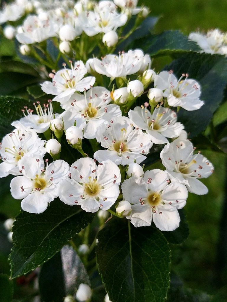 may birth flower hawthorn
