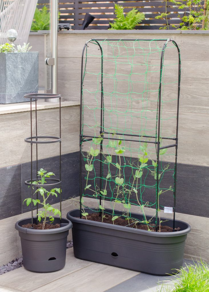 tomato and pea plants growing in pots