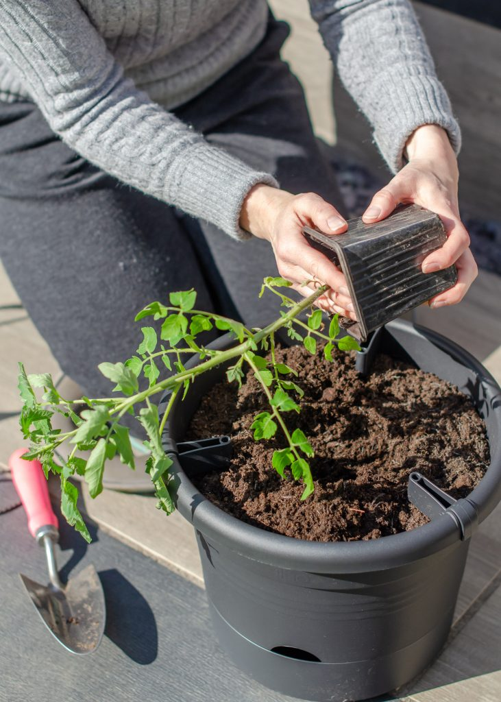 easy vegetables to grow in pots - tomatoes