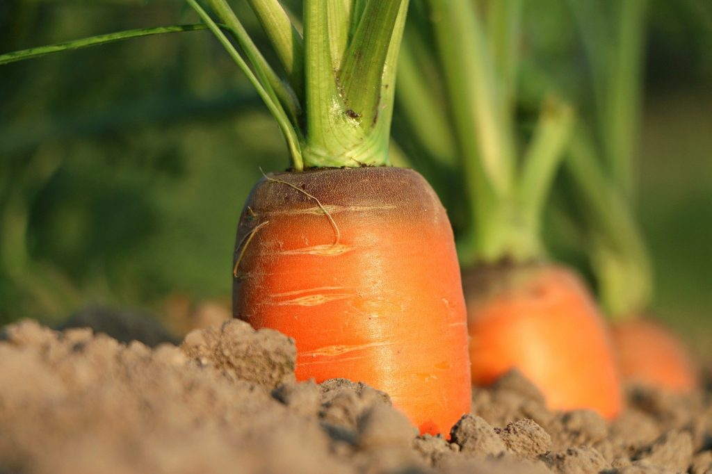 carrots growing in the ground