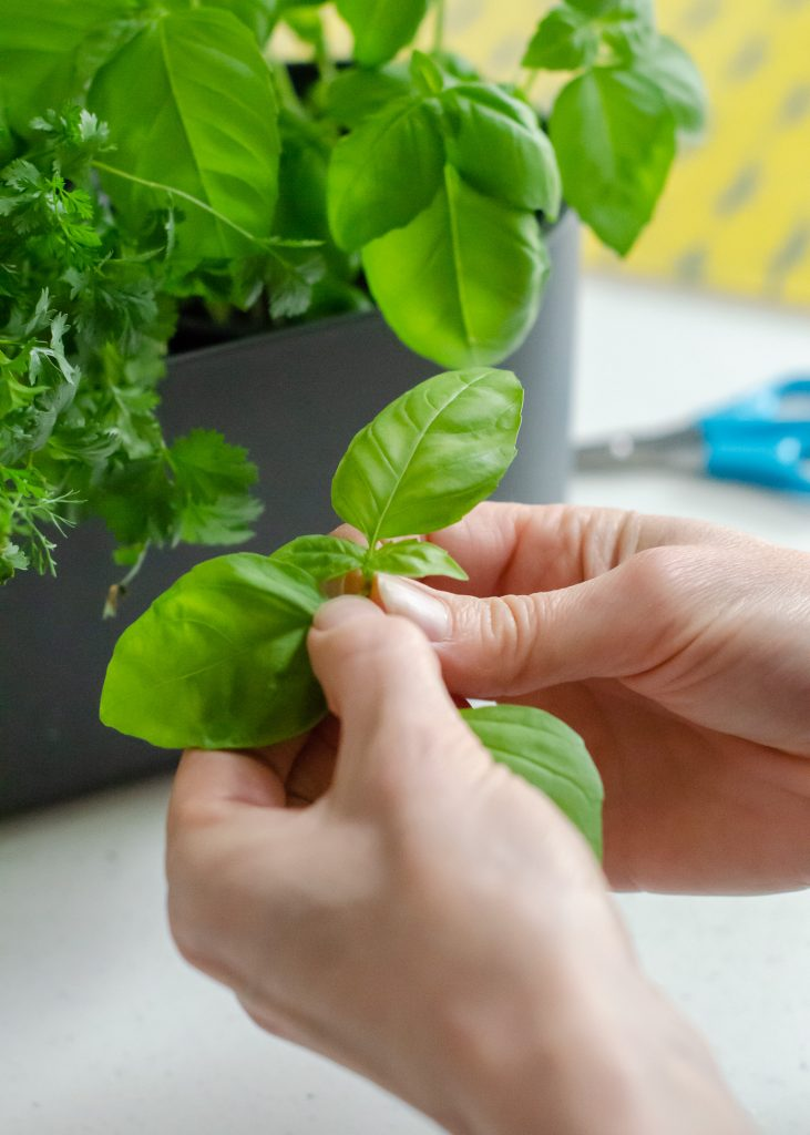 windowsill herb garden with basil plants