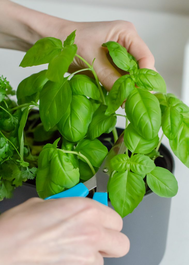 harvesting basil leaves from basil plant