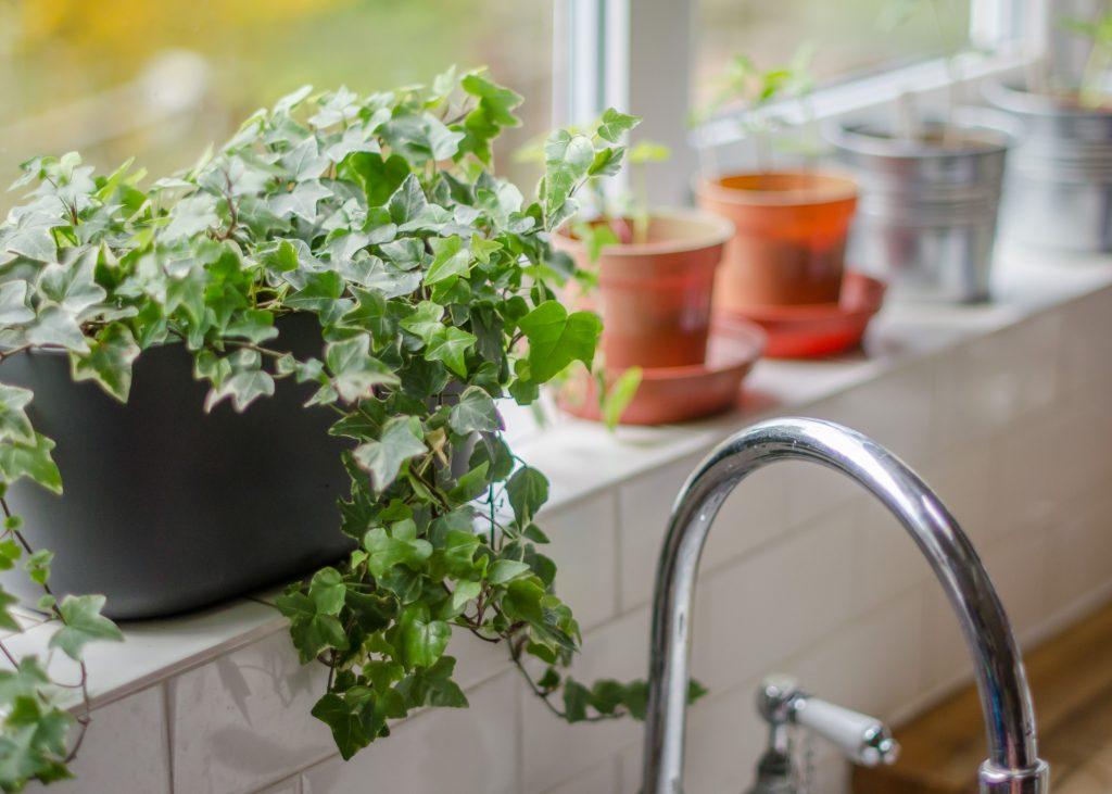 ivy plant on kitchen windowsill