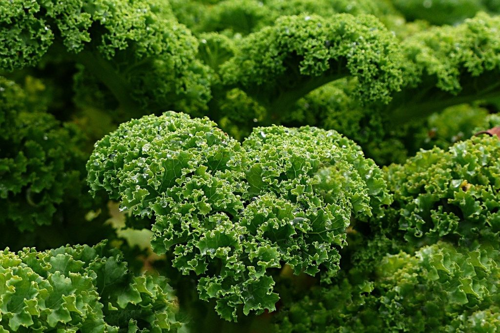 what to plant in june - kale