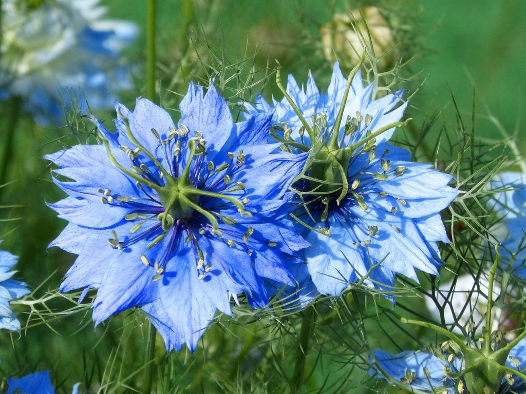 what to plant in june - nigella damascena