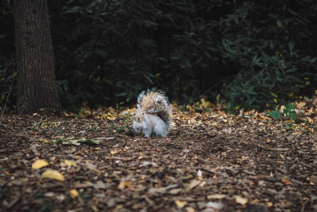 grey squirrel in woodland