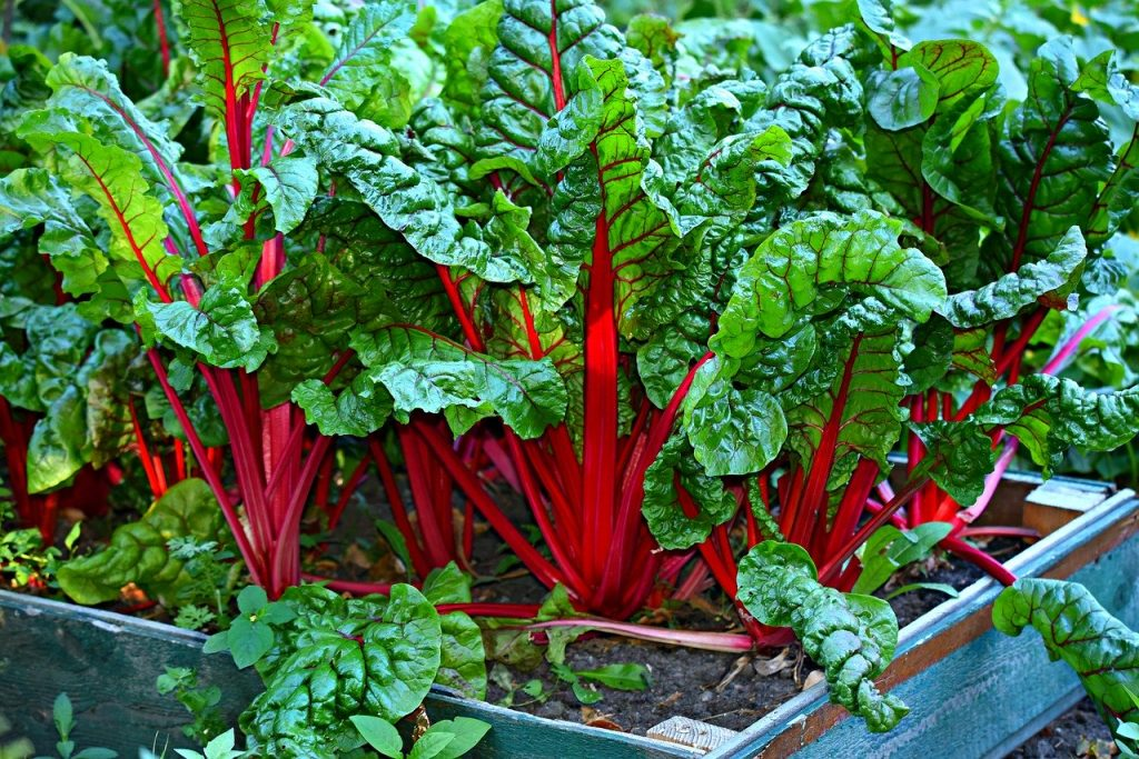 what to plant in august - swiss chard