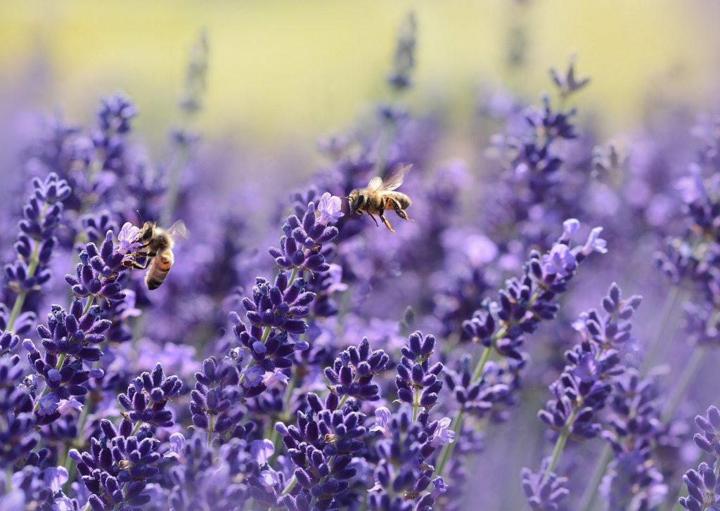 bee garden lavender