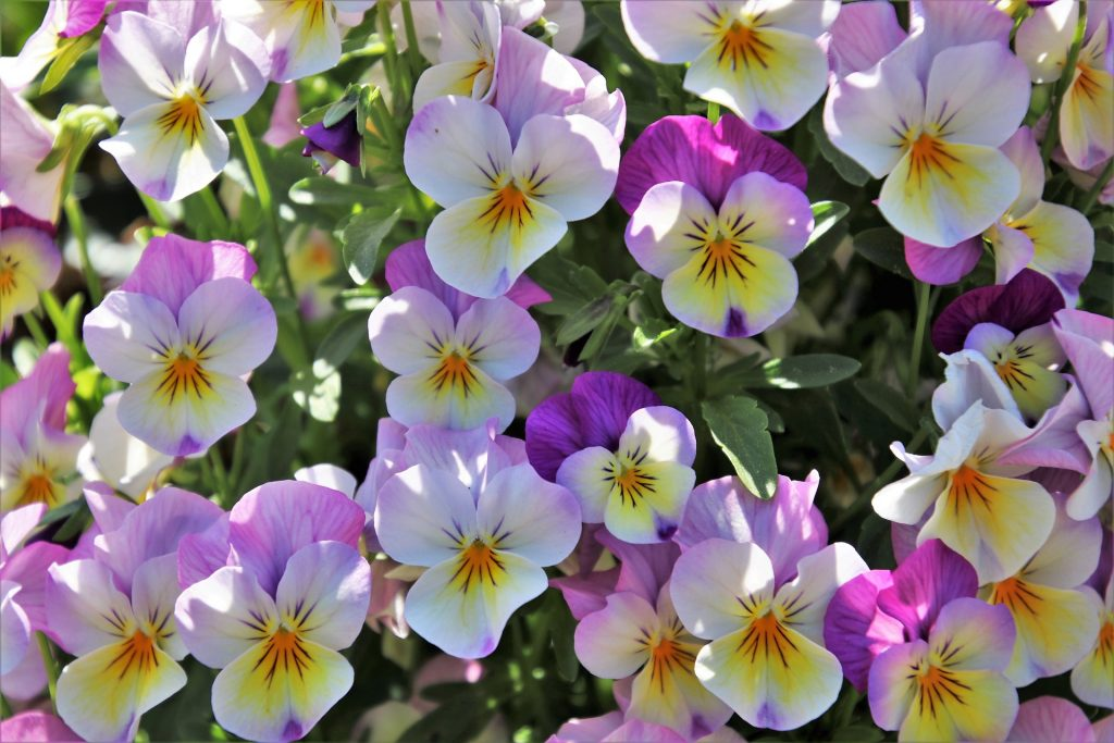 what to plant in july - winter flowering bedding plants