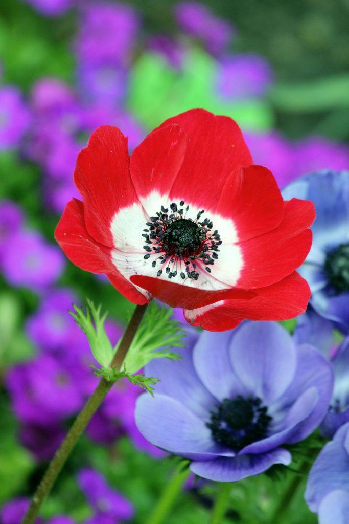 august birth flower - poppies