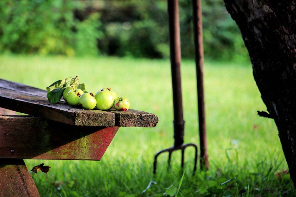 autumn garden with apple harvest and garden fork