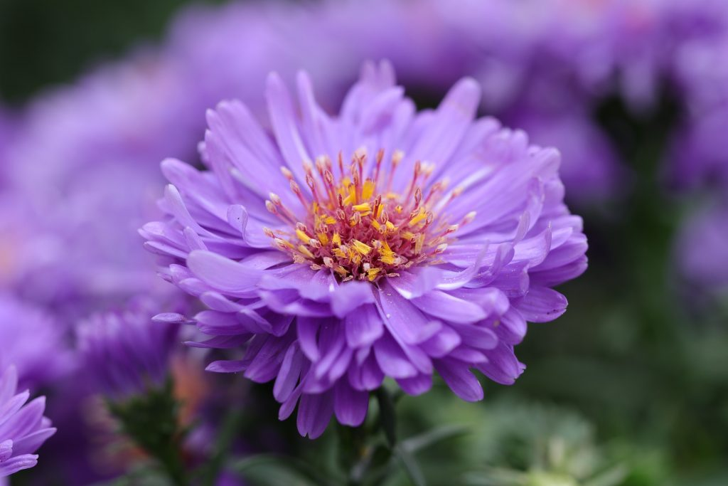 september birth flower purple aster