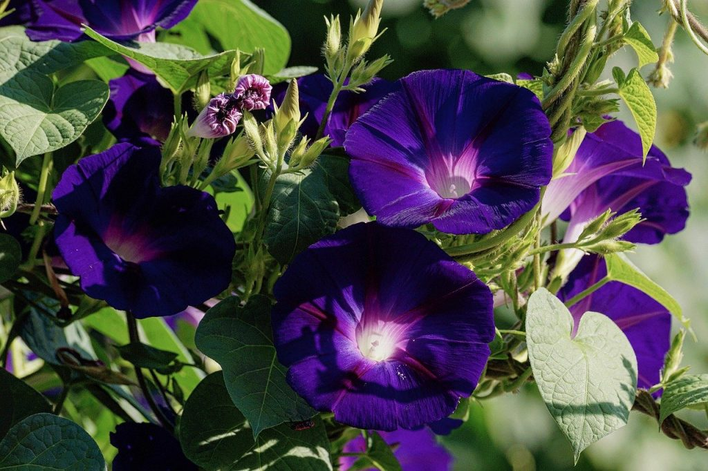 easy flowers to grow from seed: morning glory