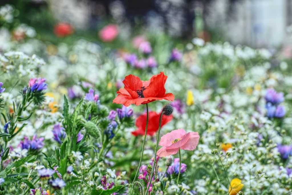 easy flowers to grow from seed: wildflowers