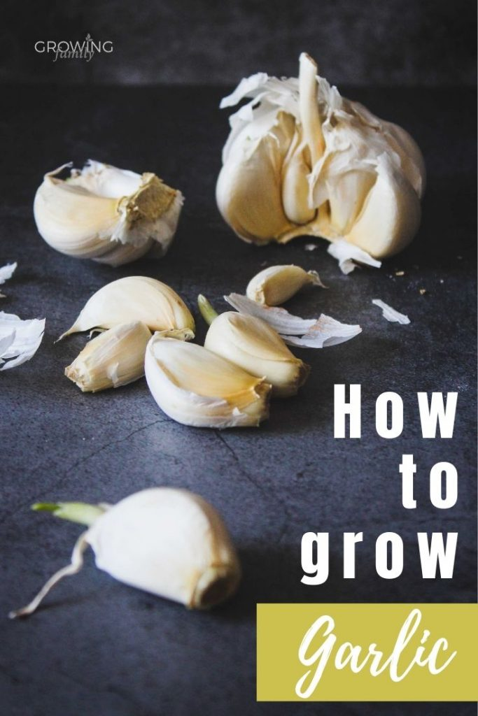 How to grow garlic: a step-by-step guide to growing your own garlic. Includes when to plant garlic, easy planting instructions and when to harvest garlic.
