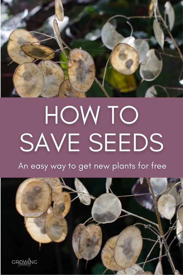 Saving seeds is an easy way to get new plants for free! This guide covers how to save seeds, and ideal plants to collect seeds from in autumn.