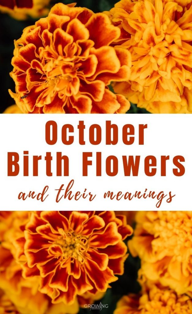 Every month has a birth flower, each with it's own special meaning. Here we take a look at the October birth flower - Marigold and Cosmos.