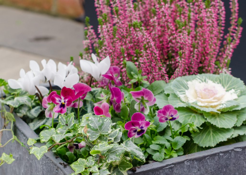 gardening in december - planting winter bedding plants