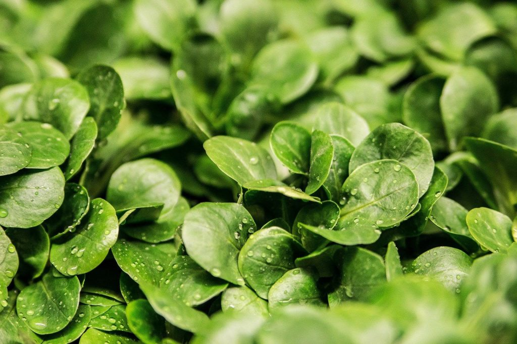 what to plant in january - winter salad