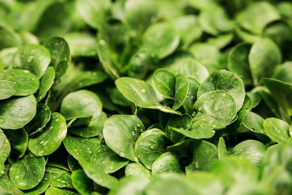lamb's lettuce leaves