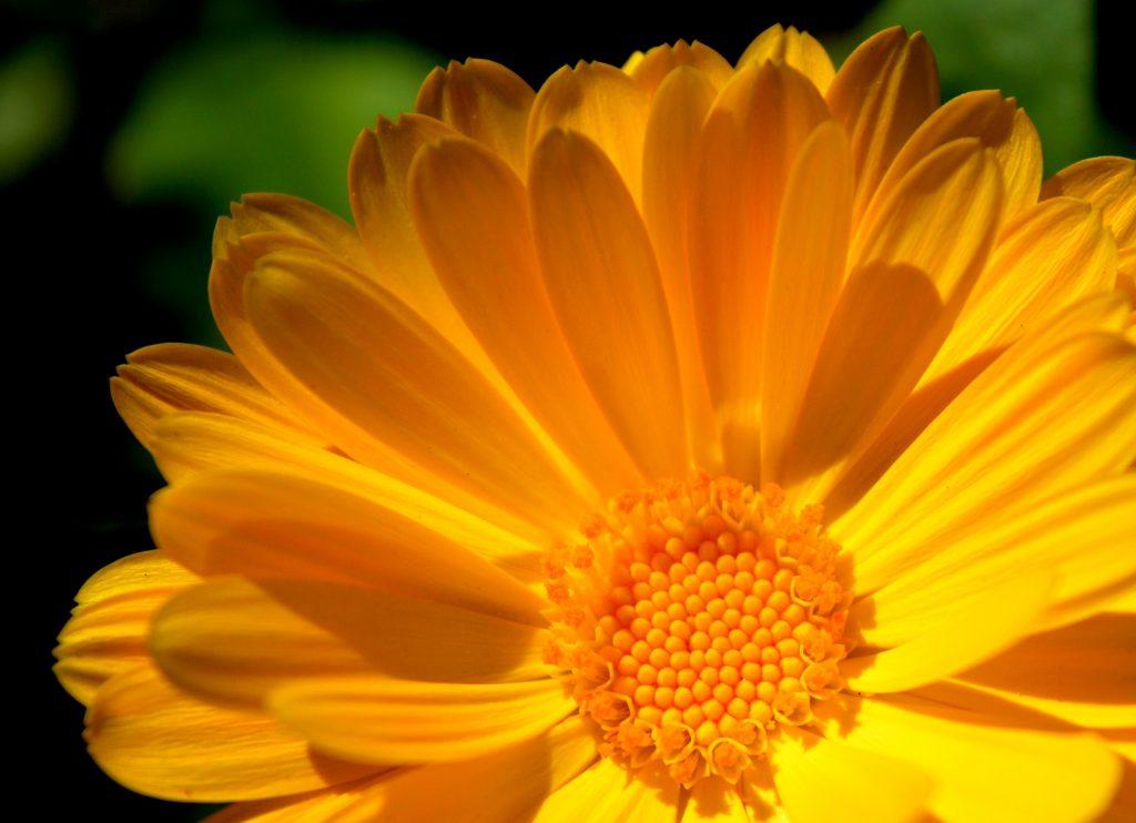 closeup of orange marigold flower