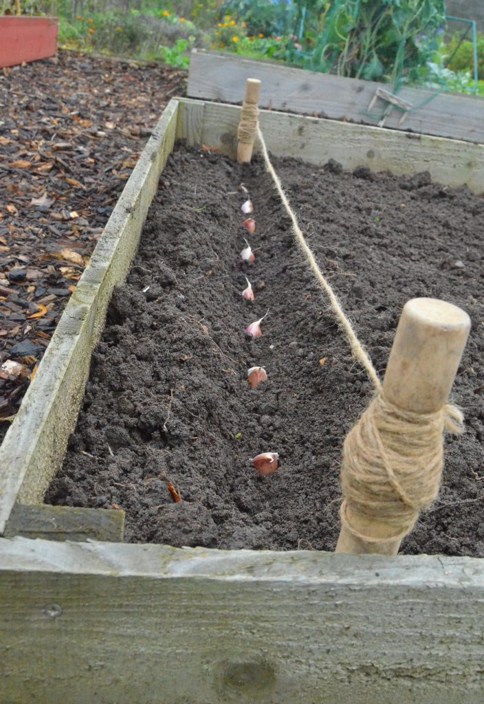 garlic cloves being planted in soil