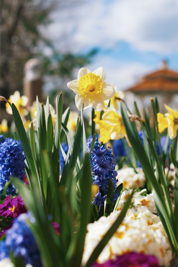 daffodil, hyacinth and primrose flowers