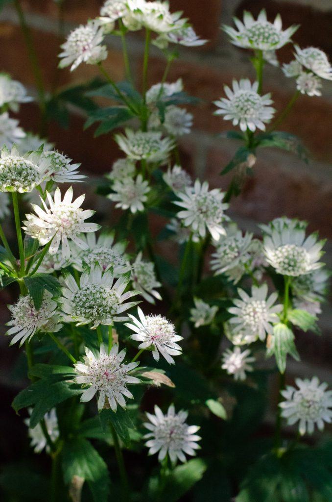 white astrantia flowers